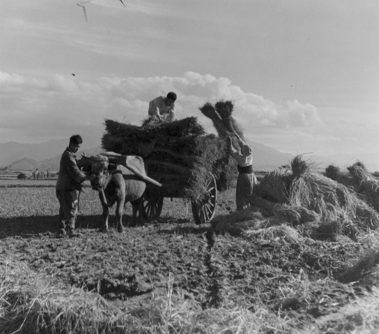 볏단을 소달구지에 싣는 농사꾼들(1950. 11. 8.).
