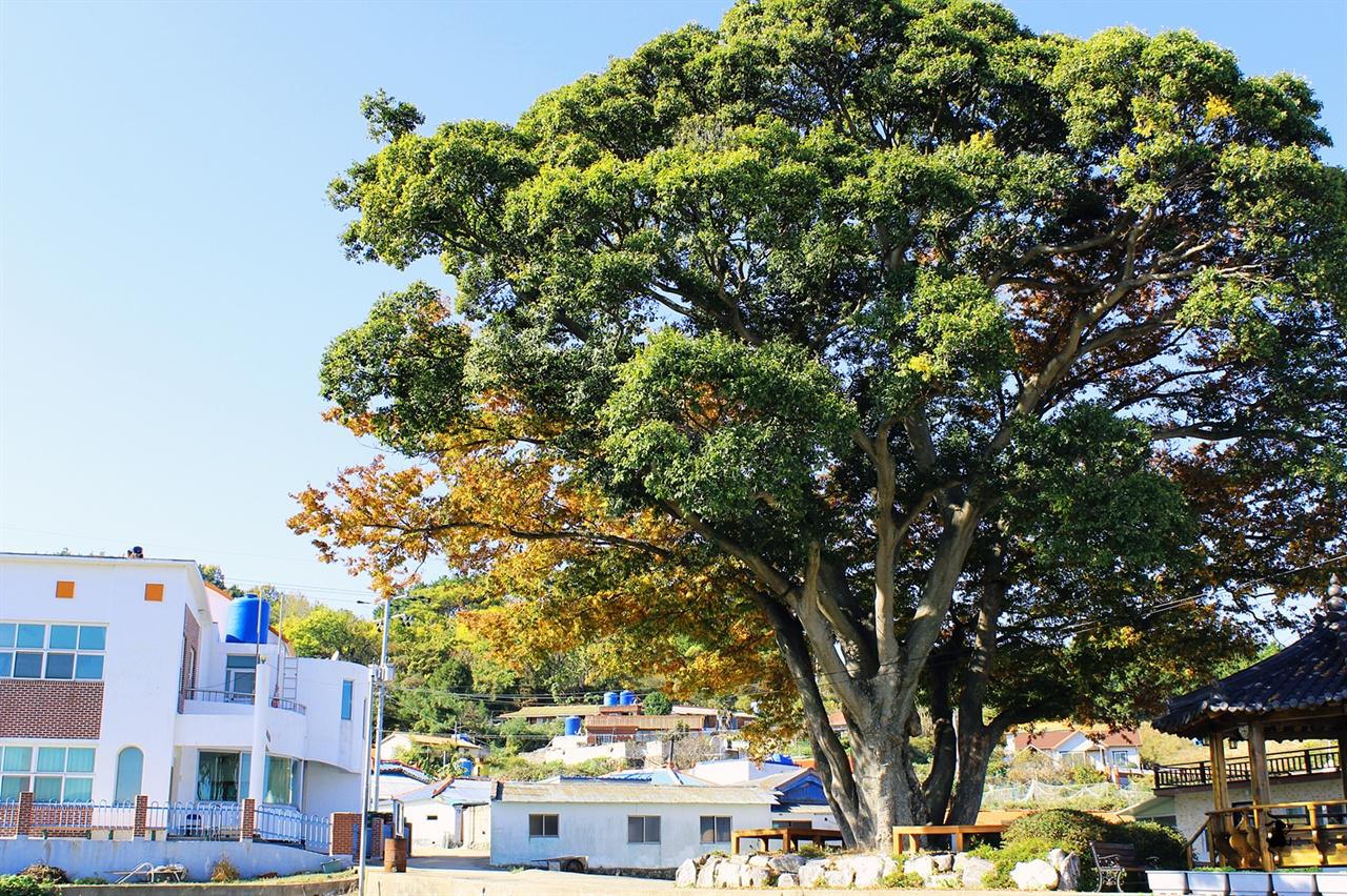 지도의 보호수 커다란 보호수는 120년 된 느티나무다. 하나의 나무로만 된 것이 아니라 느티나무와 팽나무가 한집살이 하는 연리목이다.
