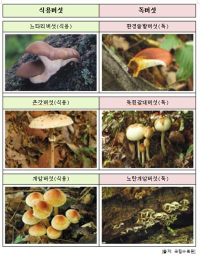 구별하기 어려운 식용버섯과 독버섯