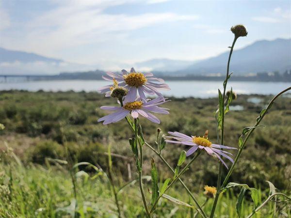 구례 섬진강변에 핀 쑥부쟁이 꽃