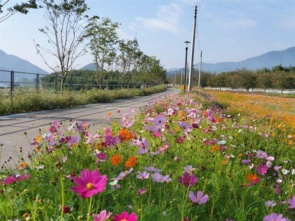 구례 섬진강변 코스모스 꽃길