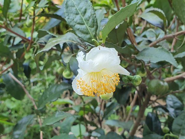 대나무 숲에 핀 차나무 꽃