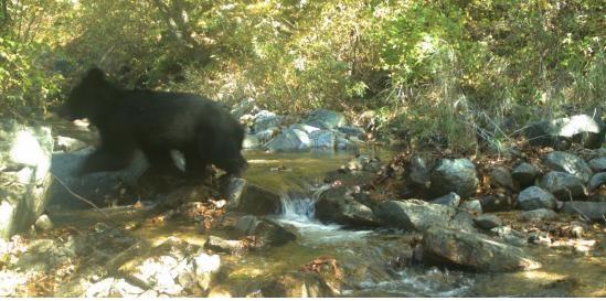 비무장지대에서 포착된 반달가슴곰
