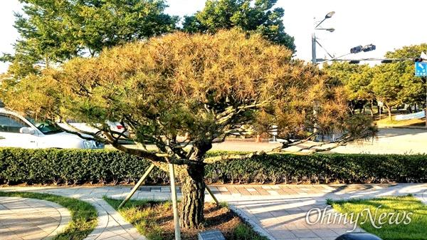 경남도의회 정문 쪽에, 1992년 기념식수 해 놓았던 소나무가 최근에 잎이 말라가며 시들하다.