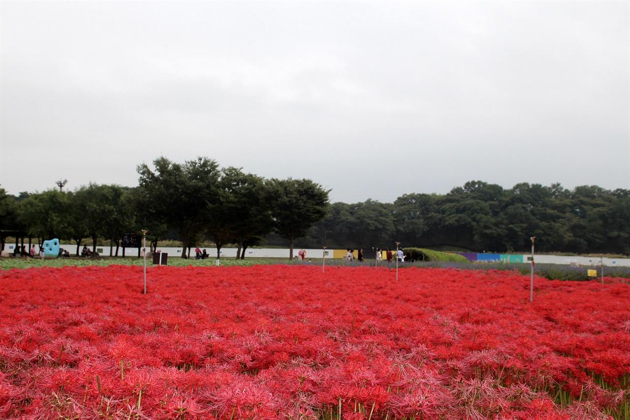 붉게 물든 경주 동부사적지대 꽃밭단지 꽃무릇 모습