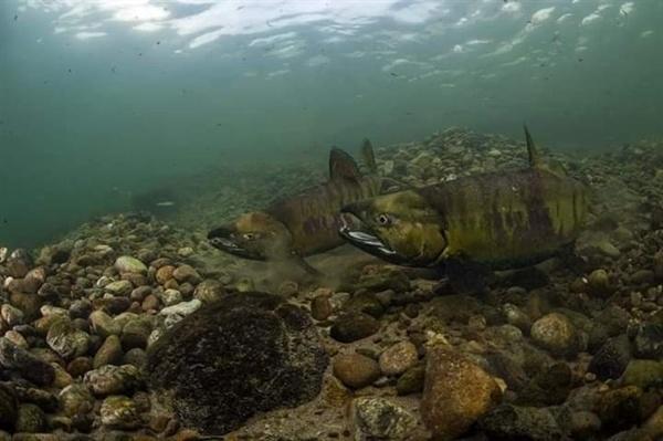 연어떼 양양강 물속의 연어떼