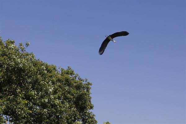 상동마을을 오가는 왜가리. 새들이 지난 여름에 새로운 둥지를 찾아 떠나고 일부만 남아 있다.