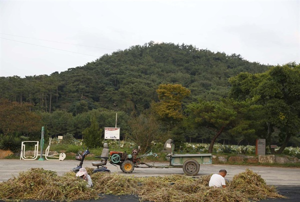 청용산을 배경으로 빈터에서 콩을 훑고 있는 상동마을 주민. 청용산은 지난 여름까지 백로와 왜가리가 한데 모여 살던 곳이다.
