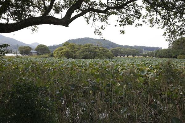 용연저수지와 어우러지는 상동마을. 저수지 제방의 소나무숲에서 본 풍경이다.
