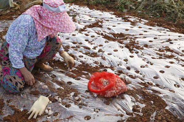상동마을에 사는 한 어르신이 집앞 비닐하우스 옆 텃밭에 마늘을 심고 있다. 어르신도 백로와 왜가리 보호에 남다른 생각을 지니고 있다.