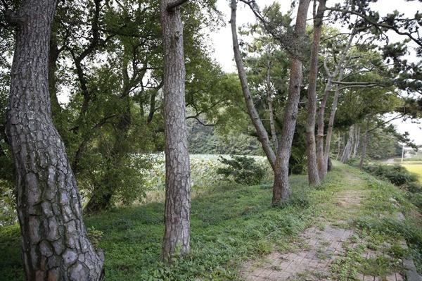 용연저수지를 둘러싸고 있는 소나무 숲길. 상동마을로 불어오는 바람을 막아주는 역할을 하고 있다.