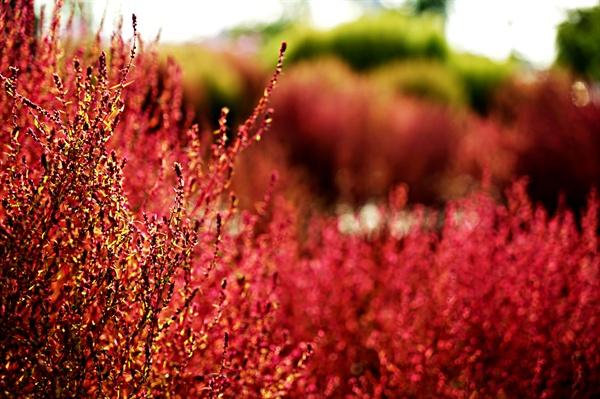 평화의 정원 핑크뮬리