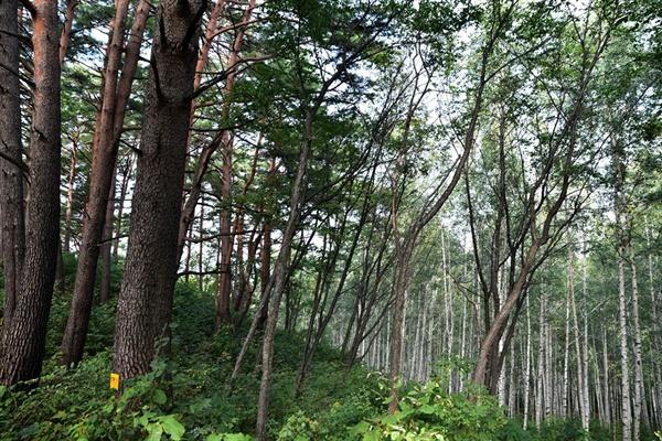 소나무와 자작나무
