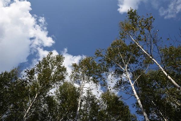 자작나무와 하늘