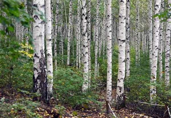 자작나무 숲길