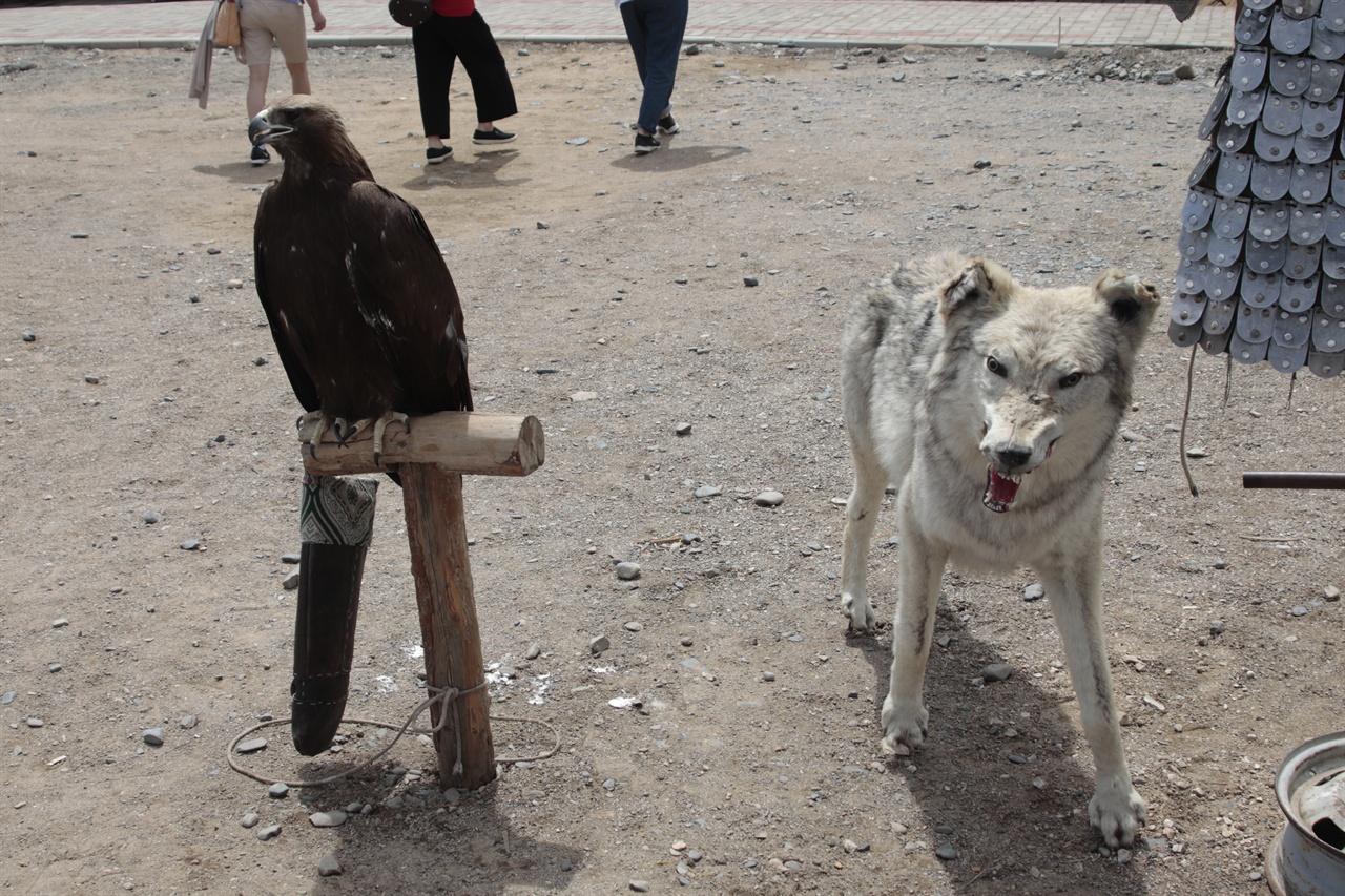몽골의 옛 수도인 하라호른의 에르덴죠 사원 앞에 전시된 늑대 박제품 모습. 관광객들을 끌기 위해 전시됐다.