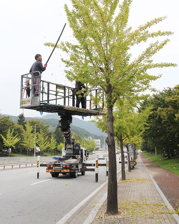 예산터미널 대로변에서 작업자들이 은행나무 열매를 털고 있다.