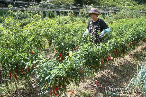 '내 마음의 외갓집'을 운영하는 김영미 대표가 직접 키운 고추밭을 둘러보고 있다.