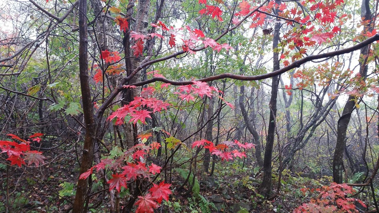 대암산 단풍 아직 물들지 않은 푸른 숲 속에 빨간 단풍이 도드라져 보인다.