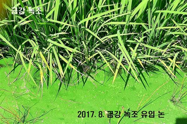 2017.8. 금강 녹조 유입 논