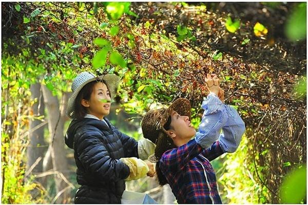 2012년 홍콩인 우퍼 시우와 앨리스가 오미자를 따고 있다.