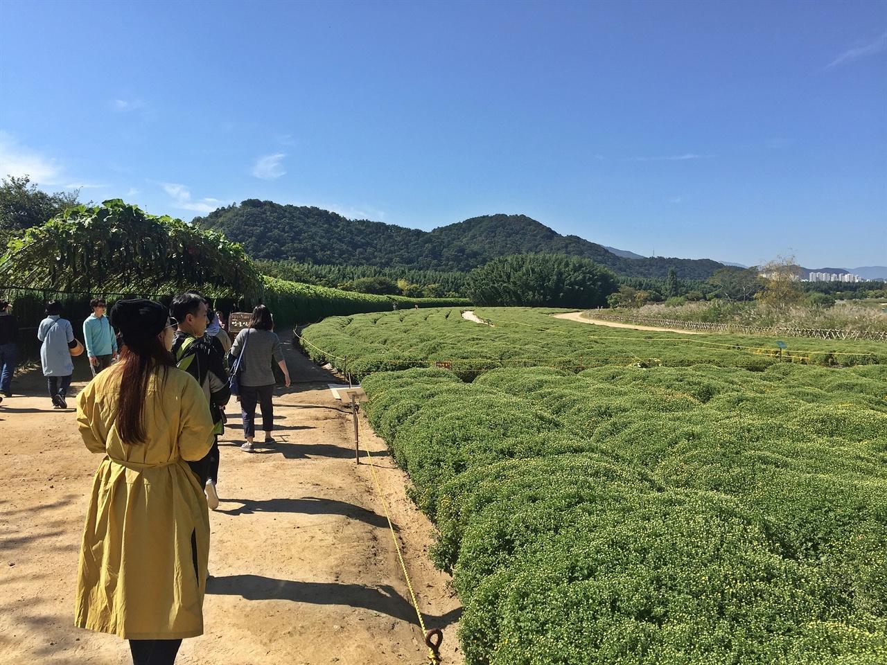 금방울 국화가 심어진 울산 태화강 국가정원 모습