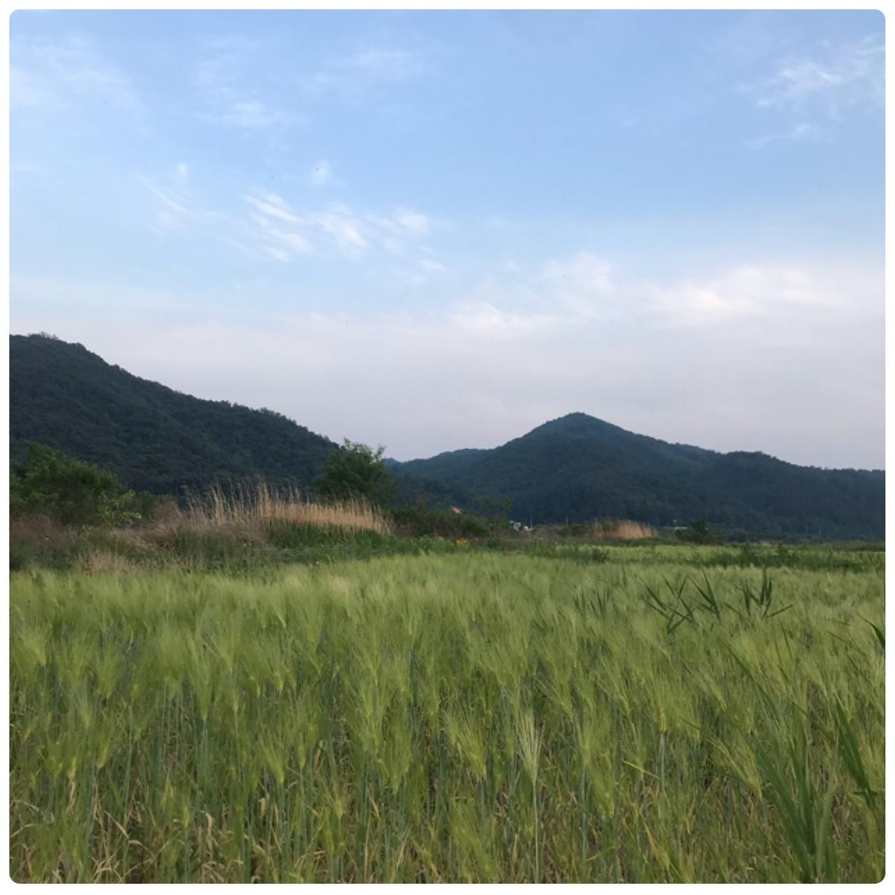 봄에 만날 수 있는 청보리 밭 .