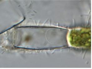 시아노파논 미라빌(Cyanophanon mirabile)