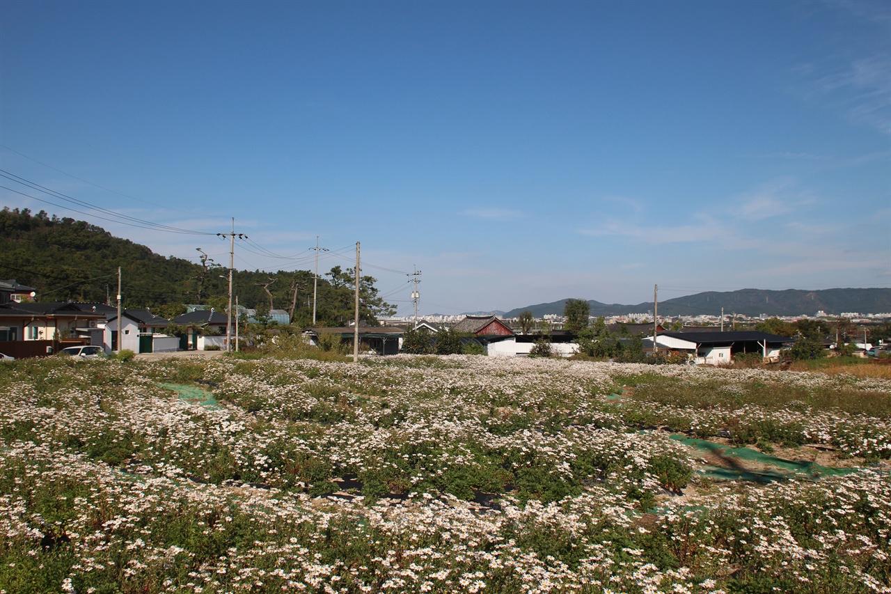 본격적인 개화가 시작되고 있는 경주 서악마을 입구에 조성된 구절초 꽃밭단지 모습