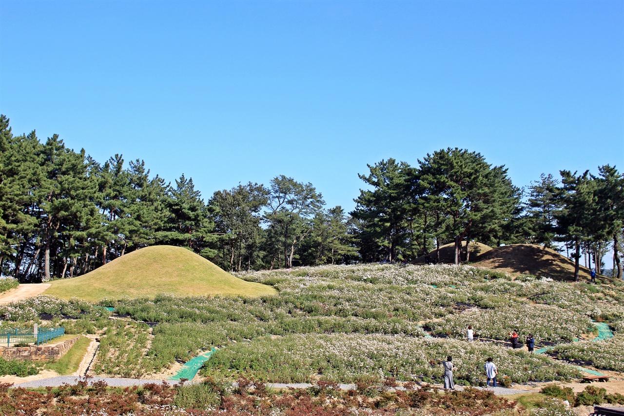 경주 서악마을 선도산 고분군 사이에 피어있는 구절초 꽃밭단지의 모습