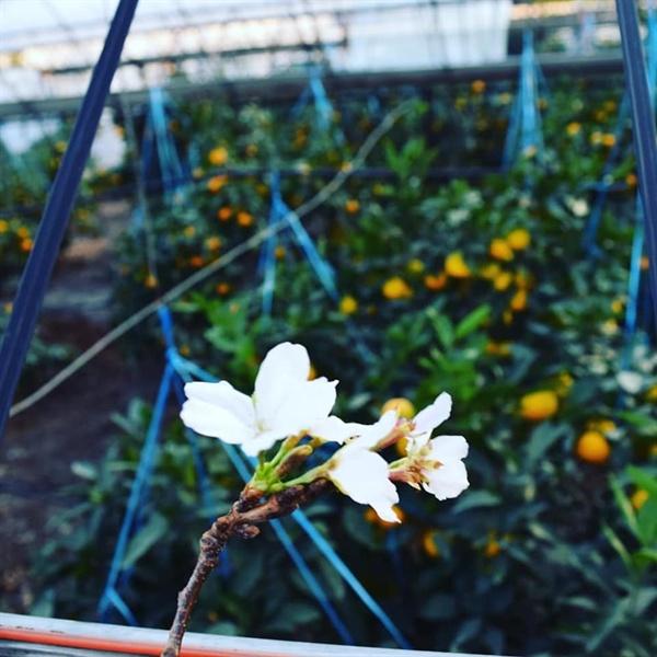 감귤밭 벚꽃  감귤이 노랗게 익은 과수원위에 드리워진 벚꽃