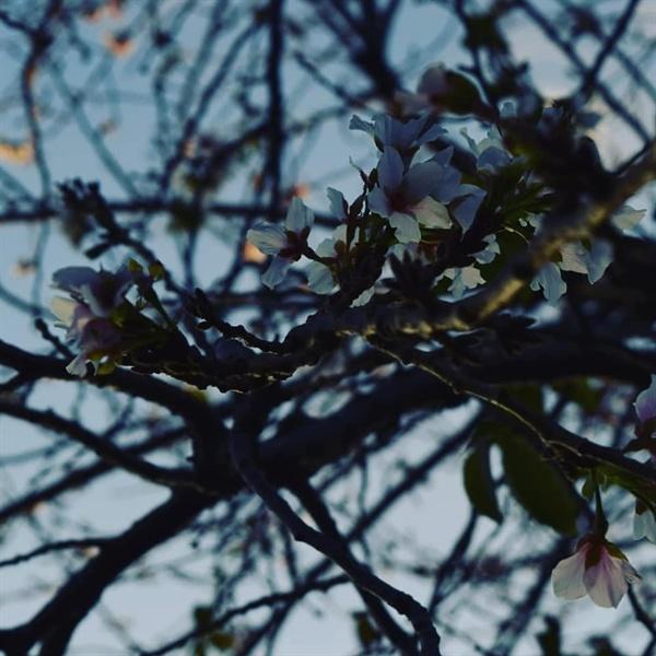 가을 벚꽃 나무 전체에 하얀 벚꽃이 피어났다