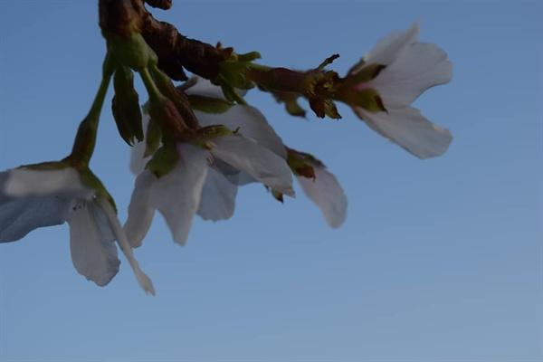 가을 벚꽃 파란하늘에 벚꽃이 만발하였다
