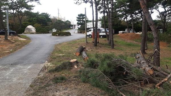 울산 동구 주전고개를 넘어 울산테마식물 수목원 돌비석이 서있는 갈림길에서 수목원 앞까지 소나무 수십그루가 잘려나가 있다