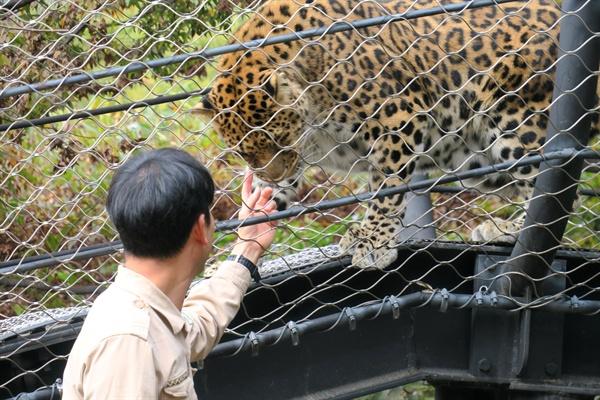 지난 17일 김정호 청주동물원 수의사(진료사육팀장)가 새끼 표범 시절부터 돌봤던 '직지'와 인사를 나누고 있다.