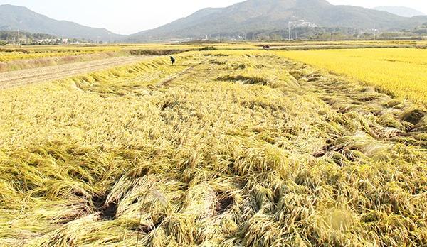 이온우 농민의 논 절반 가량이 도복피해를 입었다.