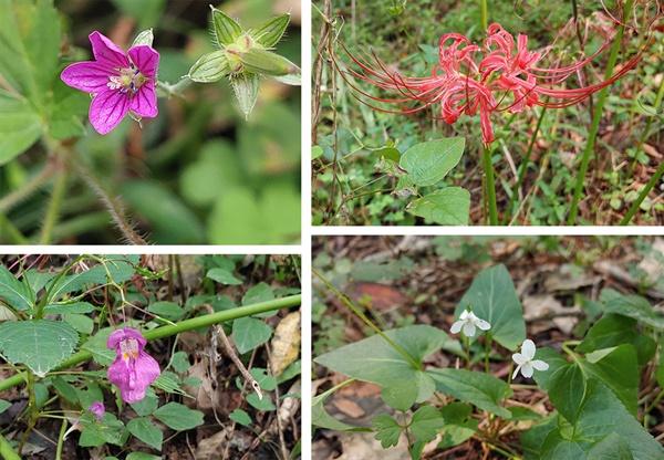운곡습지에서 만난 들꽃 일부. 시계 방향으로 쥐손이풀,꽃무릇,제비꽃, 물봉선이다. 오랜 세월이 지난 후 이 식물들은 어떤 모습일까.
