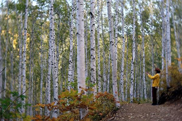 원대리 자작나무 숲 자작나무 숲에 안긴 방문자가 추억을 담고 있다.
