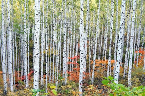 자작나무 숲 자작나무 숲에 가을이 왔다. 자작나무는 탈 때 '자작자작!'소리가 난단다.