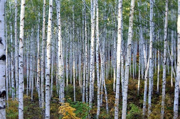 자작나무 숲 원대리 자작나무 숲
