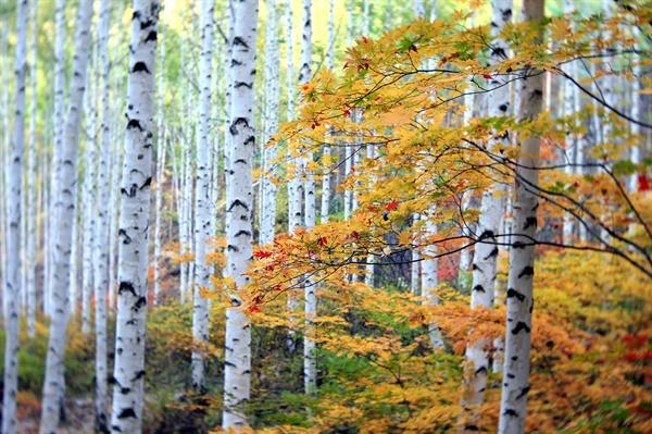 자작나무와 단풍나무 자작나무의 하얀 수피는 어떤 색깔과도 잘 어울린다.