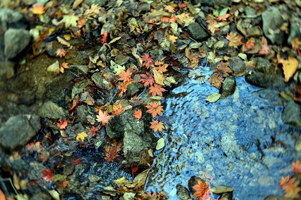 낙엽과 계곡 단풍잎이 계속에 떨어져 자기 안의 빛을 또한번 발한다.
