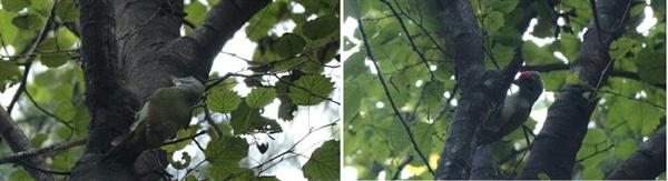 청딱따구리  분당 어느 산 아래 우리 집에는 청딱따구리가 찾아온다.