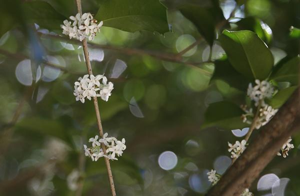 은은한 향을 풍기는 은목서 꽃. 빛가람 치유의 숲에서 지금 흔히 볼 수 있는 꽃 가운데 하나다.