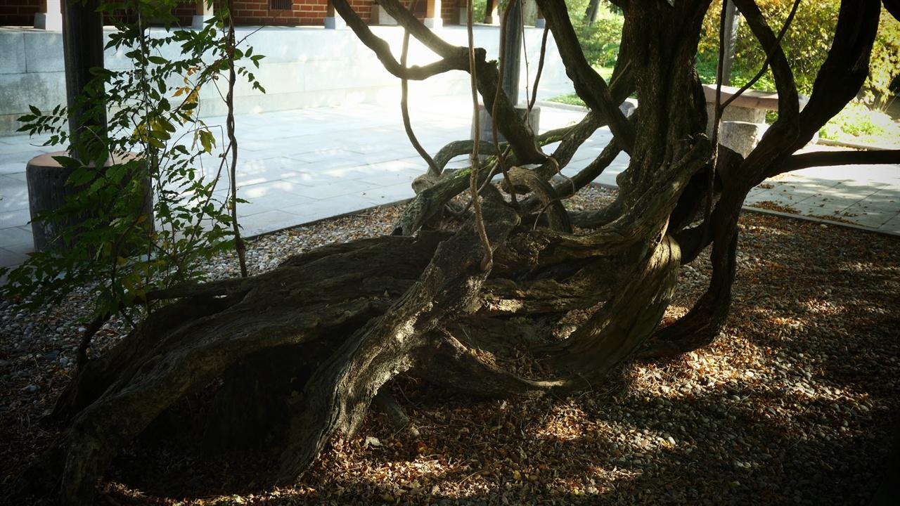 1976년 천연기념물 제254호로 지정된 수령 900년의 등나무. 한국에서 가장 크고 오래된 등나무로 알려져 있습니다. 땅쪽 줄기의 윗부분은 썩어서 상했지만 아랫부분이 살아 여전히 5월이면 꽃을 피웁니다. 옛 선비들이 무엇인가를 잡고 올라야 하는 덩굴나무인 등나무를 싫어했다지만 그 특성으로 인해 너른 나무그늘을 만들어주어 한여름 학교나 공원에서 많은 사람들의 땀을 식혀줍니다. 900년의 시간을 견뎌온 세월의 흔적이 밑줄기에 고스란히 남은 이 삼청동 등나무는 육신이 아니라 정신으로 삶을 지탱하고 있는 듯해 숭엄한 느낌이 들었습니다.
