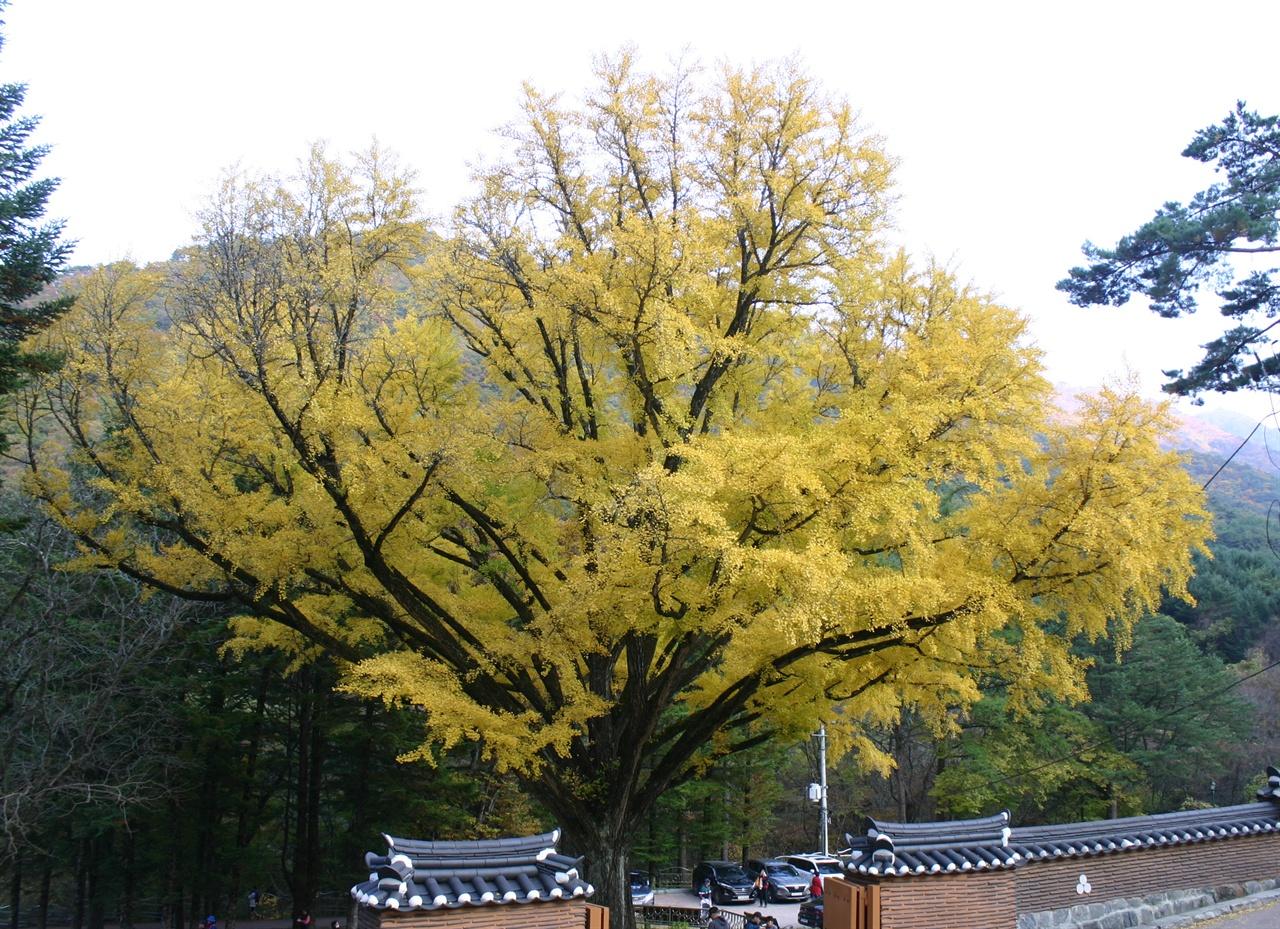 구룡사 앞 만추의 은행나무