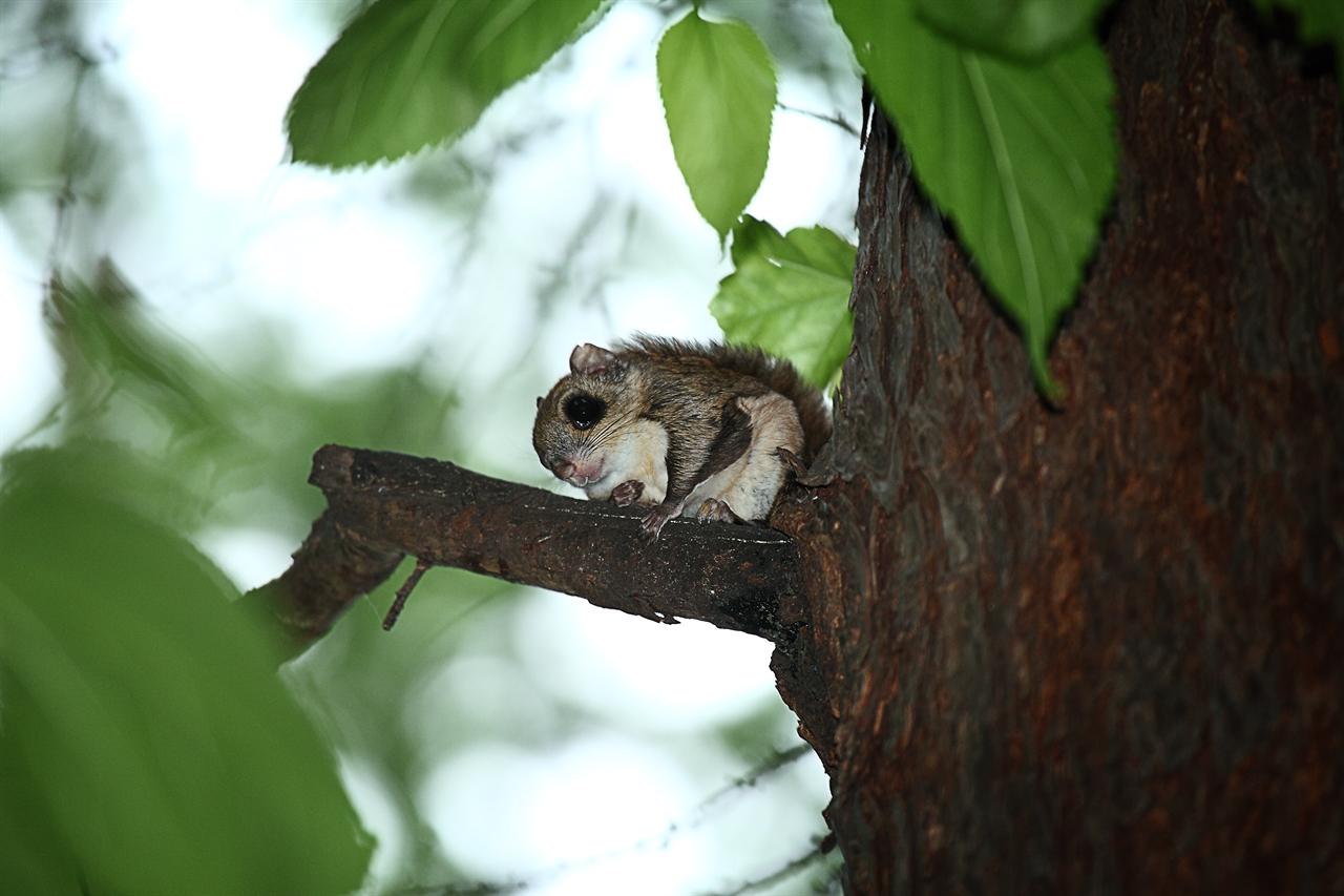 보문산에서 발견된 하늘다람쥐(자료사진).