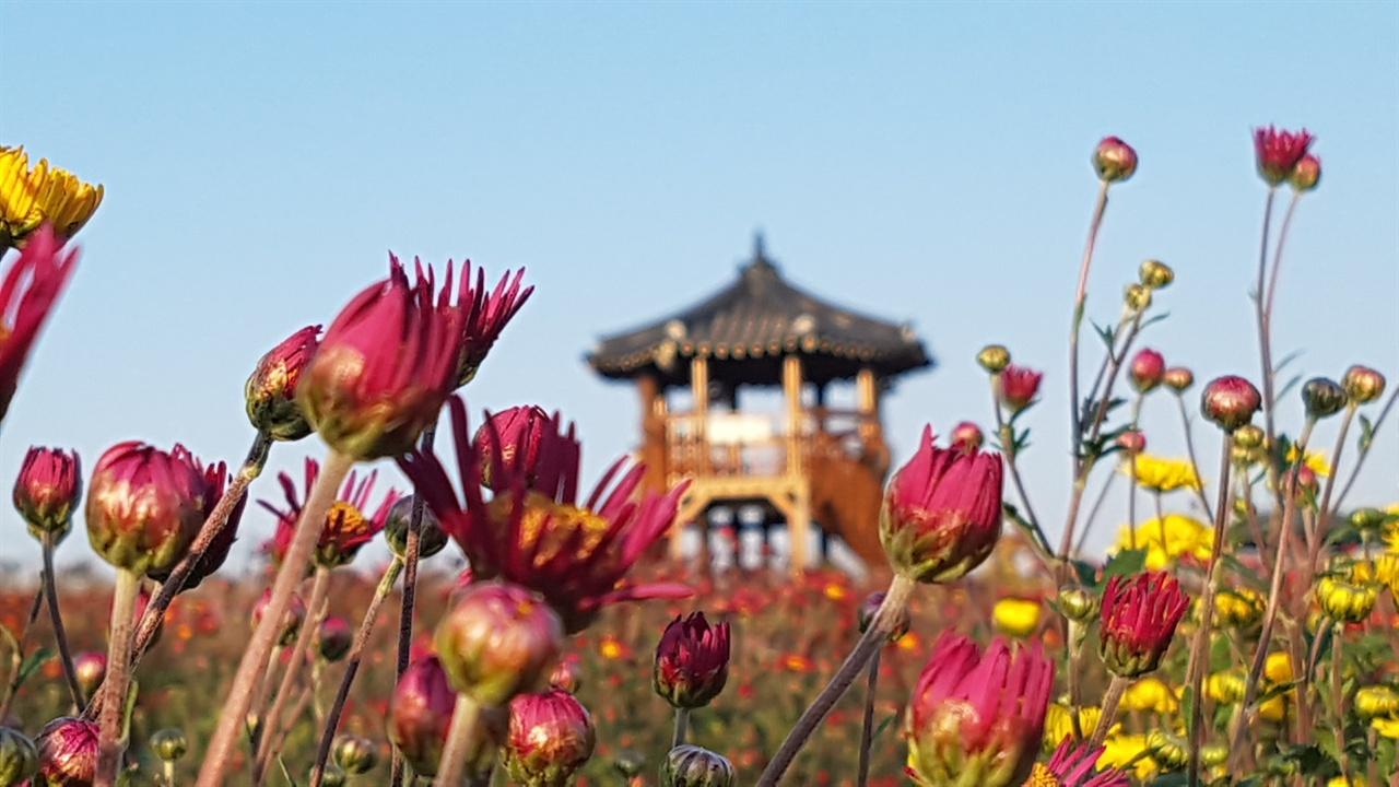 단풍과 함께 가을을 대표하는 국화축제가 다음 달 1일부터 10일까지 열흘간 충남 서산시 고북면 복남골길에서 열린다. 꽃망울을 머금은 국화꽃 너머로 한반도지도를 볼 수 있는 팔각정이 보인다.