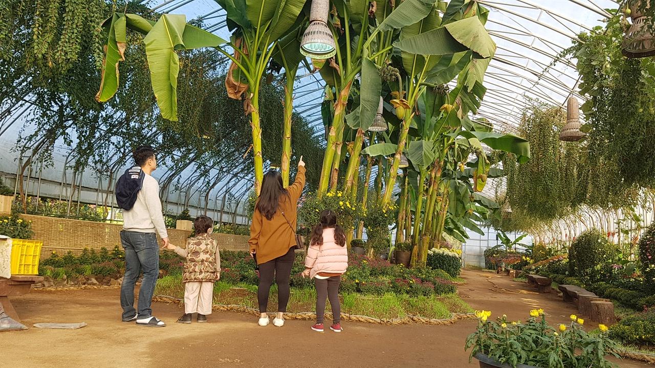 축제 전시관은 실내외를 포함해 모두 5개로 구성되어있다. 우선 실내전시관에는 다륜대작, 목부작, 석부작, 분재국, 입국, 대국, 소국 등 작품 국화들이 모여있다. 지난 27일 미리 축제장을 찾은 방문객이 실내전시관에 열매가 달려 있는 바나나 나무를 신기한듯 바라보고 있다.