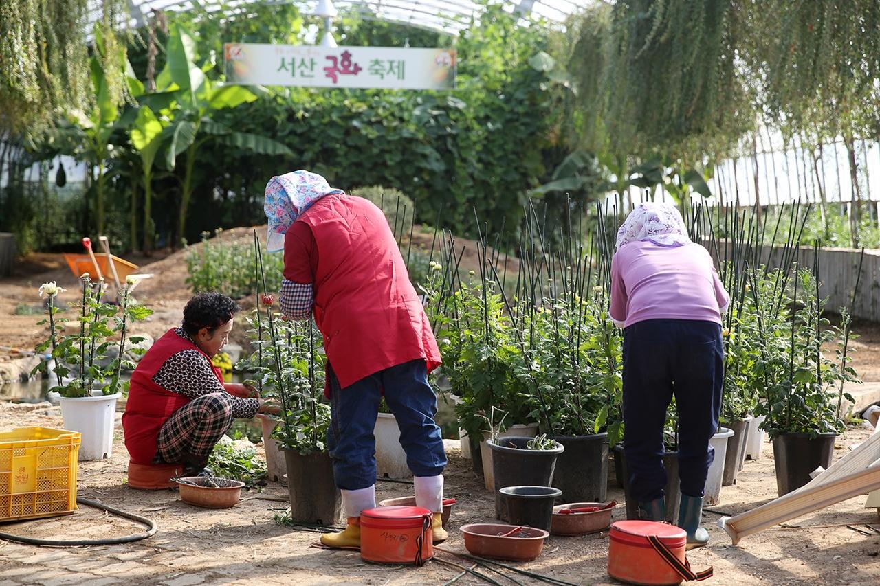 필자가 방문한 이 날 축제관계자들이 막바지 작품전시를 위해 분주히 국화를 옮기고 있었다.